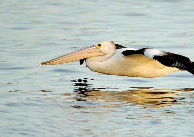 Pelicano / pelican, Florida, USA.