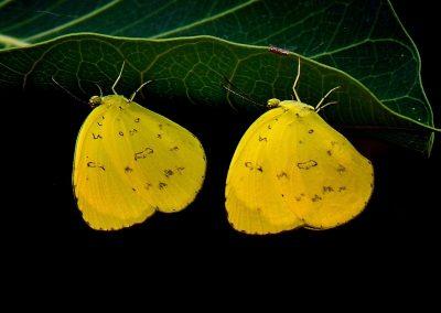 Mariposa / butterfly, Java, Indosnesia.
