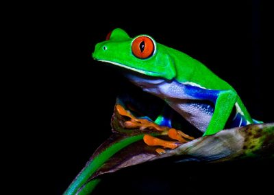 Rana ojos rojos / red-eyed tree frog, Tortuguero, Costa Rica.