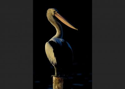 Pelicano negro / Black pelican, Victoria, Australia.
