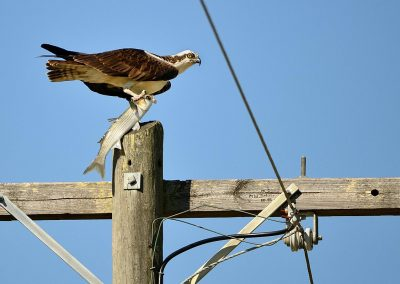 Aguila pescadora / Osprey, Florida, USA.