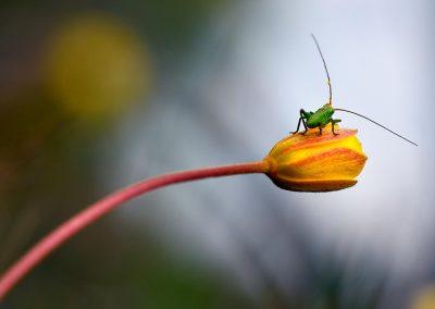 Saltamontes / grasshoper, Sierra Cazorla, Spain.