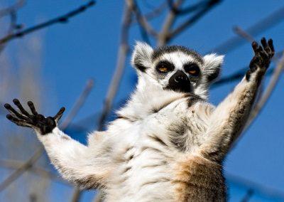Lemur catta, Madagascar.