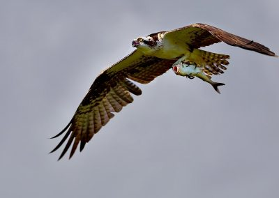 Aguila pescadora, osprey, Florida, USA.