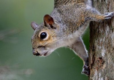 Ardilla gris / grey squirrel, Florida, USA.