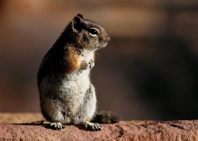 Ardilla roja / Red squirrel, Grand Canyon, USA.