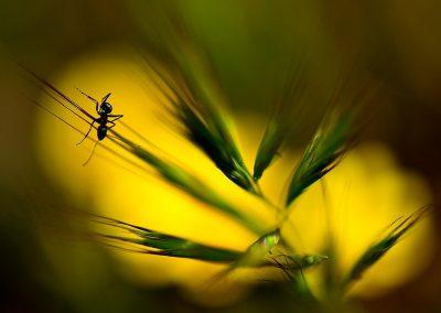 Hormiga / ant, Valdemorillo, Spain.