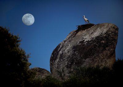 Cigüeña blanca / white stork, Los Barruecos, Spain