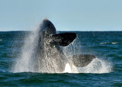 Ballena austral / Austral whale, South Africa.