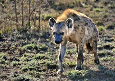 Hiena / hyena, South Africa.
