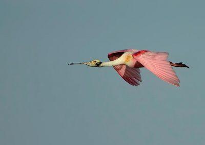 Espatula rosada / Roseate Spoonbill, Florida, USA.