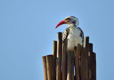 Calao pico rojo / Red-billed Hornbill, South Africa.