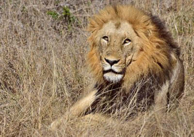 Leon / lion, Kruger National park, South Africa.