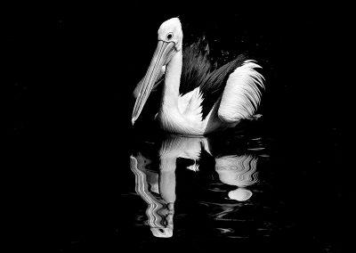 Pelicano negro / black pelican, Australia.