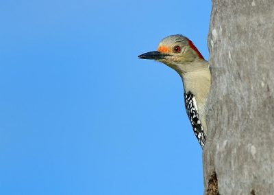 Pájaro carpintero / Red-bellied Woodpecker, Florida, USA.