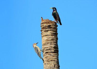 Pájaro carpintero y estornino / Red-bellied Woodpecker and sturnus, Florida, USA.