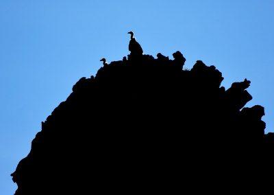 Buitre leonado / griffon vulture, Sierra Bartolomé, Spain.