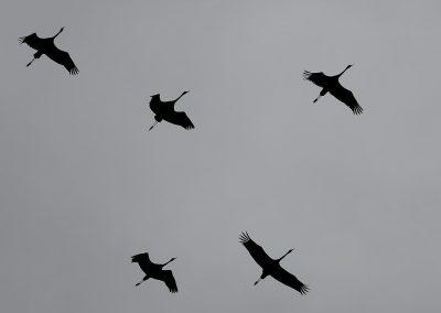Grulla / Crane, Gallocanta, Spain.