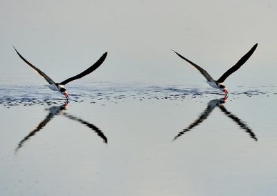 Rayador / Black skimmer, Florida, USA.