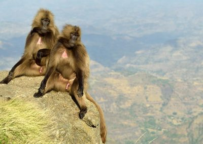 Gelada Baboon, Simien Mountains, Ethiopia.