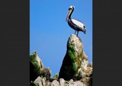 Pelicano / pelican, Islas Ballestas, Perú.