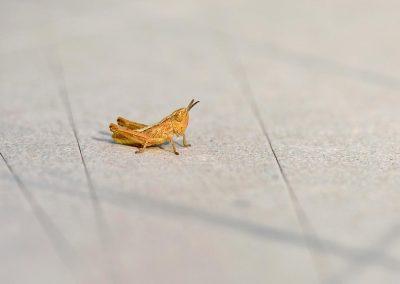 Saltamontes / grasshoper. Miraflores, Spain.