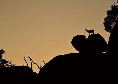Cabra hispánica / Hispanic goat, La Pedriza, Spain.