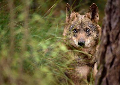 Lobo iberico iberian wolf, Spain.