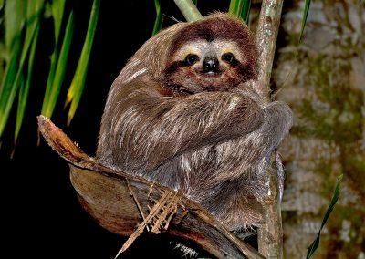 Perezoso / sloth, Costa Rica.