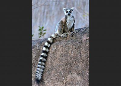 Lemur catta, Ranomafana, Madagascar.