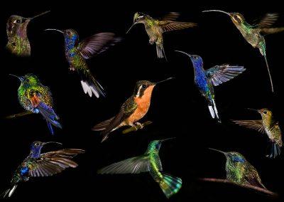 Colibrí / humming bird, Parque Monteverde, Costa Rica.