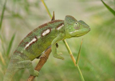 Camaleón, /chameleon, Madagascar.