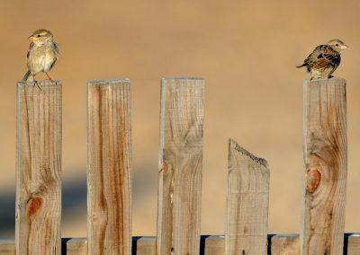 Gorrion / sparrow, Andalucía, Spain.