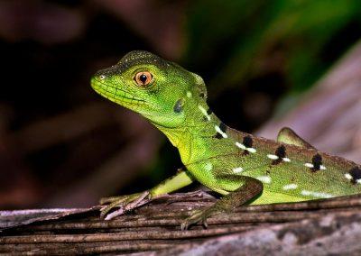 Lagarto / lizard, Monteverde, Costa Rica.
