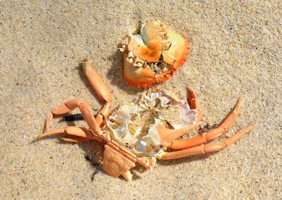 Restos cangrejo /Remains of crab, Playa Corrubedo, Galicia, Spain.