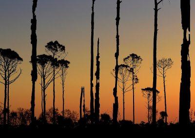 Bosque quemado, burned forest, Florida, USA.