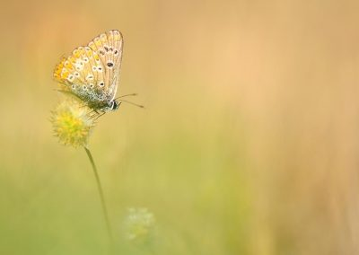 Mariposa / butterfly, Valdemorillo, Spain.