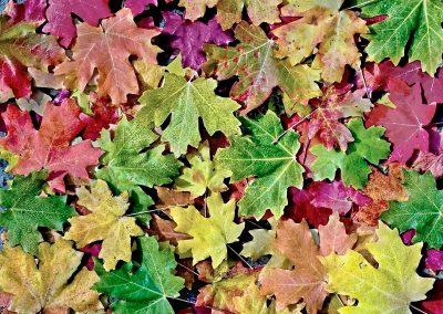 Hojas de arce / maples leaves, Zion National Park, Utah, USA.