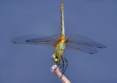 Libelula / dragon-fly, Andalucia, Spain,
