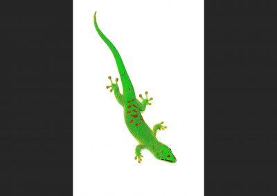 Gexo / gecko, Madagascar.