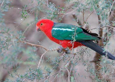 Loro, parrot, Victoria, Australia.