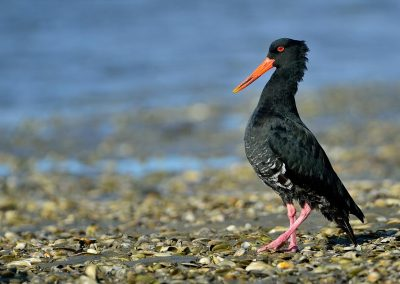 Ostrero, oystercatcher, New Zealand.