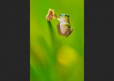 Ranita San Antonio / San Antonio frog , Zarzalejo, Spain.