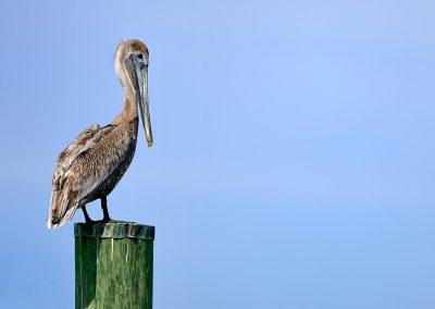 Pelicano, Florida, USA.