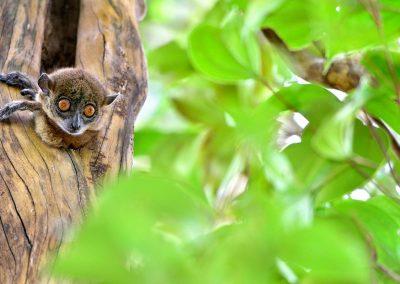 Lemur, Andasibe, Madagascar.