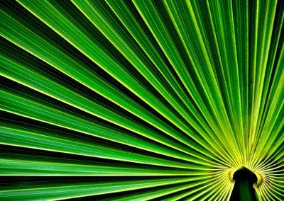 Hoja de palmera, palm leaf, Florida, USA.