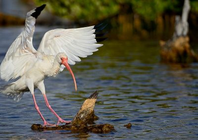 Ibis blanco / White Ibis, Florida, USA.