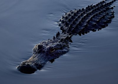 Aligator, Everglades National Park, Florida, USA.