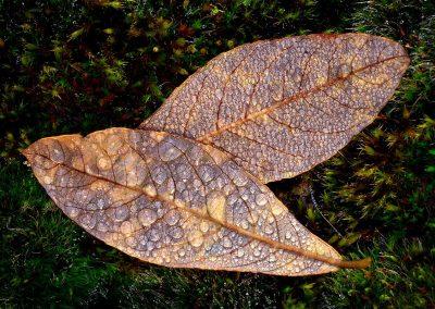 Hojas secas / dry leaves, Sierra Demanda, Spain.