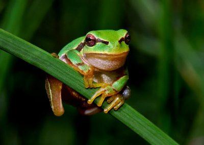 Ranita San Antonio / San Antonio frog, Zarzalejo, Spain.